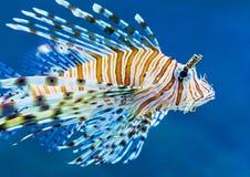 Lionfish im blauen Wasser Lizenzfreie Stockfotografie