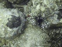 Lionfish im Korallenriff Stockbilder