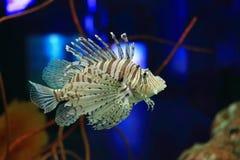Lionfish Royalty Free Stock Photo