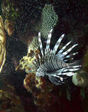 Lionfish - Invasive Species in the Caribbean Stock Photos