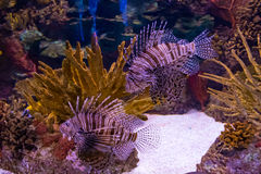 Lionfish invasive species in tank Royalty Free Stock Photo
