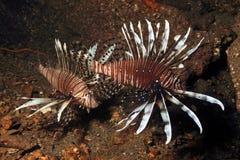 Lionfish, Invasive 1 Stock Photography