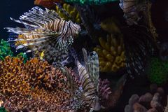 Lionfish inwazja w Karaiby obrazy stock