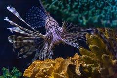 Lionfish inwazja w Karaiby zdjęcie royalty free