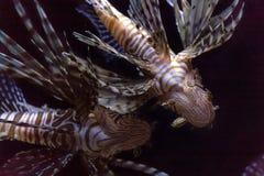 Lionfish inwazja w Karaiby fotografia royalty free