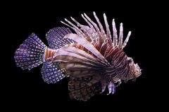 Lionfish. Isolated by black background Royalty Free Stock Photography