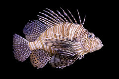 Lionfish. Isolated by black background Stock Image