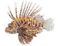 Lionfish - Isolated vector design Royalty Free Stock Photos