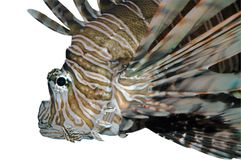 Lionfish Isolated on White Royalty Free Stock Photography