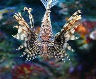 Lionfish. In a Japan Zoo aquarium Royalty Free Stock Image