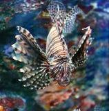 Lionfish. In a Japan Zoo aquarium swimming Stock Images