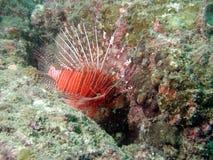 Lionfish in koraalrif royalty-vrije stock foto's