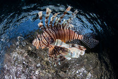Lionfish 1 Royalty Free Stock Photos