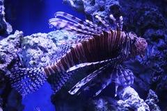 Lionfish photographie stock libre de droits