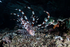 Lionfish With Long Spines Stock Photography