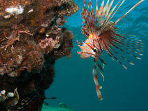 Lionfish looking down Royalty Free Stock Photos