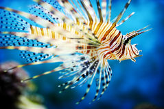 Lionfish manchado da aleta fotos de stock royalty free