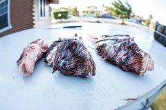 Lionfish matado nas Caraíbas Fotos de Stock