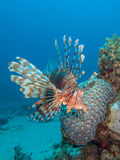 Lionfish met koraalrif Stock Foto's