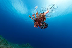 Lionfish in mid water in the Red Sea. Royalty Free Stock Image