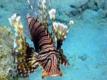 Lionfish (mijlen Pterois) stock foto