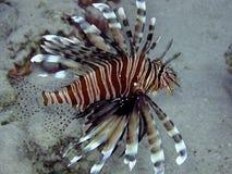 Lionfish (milhas do Pterois) Fotos de Stock