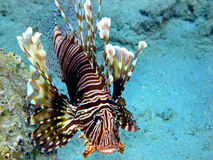 Lionfish (milles de Pterois) Photo stock