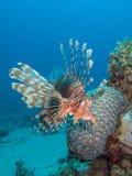 Lionfish mit Korallenriff Stockfotos