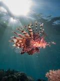 Lionfish mit Sonnenaufflackern Lizenzfreies Stockfoto