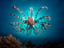 Lionfish na frente do sol fotografia de stock