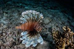Lionfish nageant au-dessus du fond sous-marin Photo libre de droits