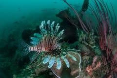 Lionfish nageant au-dessus du récif Images stock