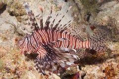 Lionfish - Nahaufnahme Lizenzfreies Stockfoto