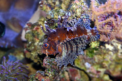 Lionfish nain Photos libres de droits