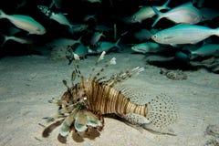 Lionfish nel Mar Rosso Immagini Stock Libere da Diritti