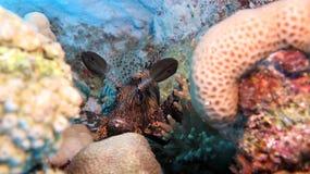 Lionfish nero Immagini Stock