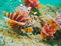 Lionfish Nest, Lembeh Strait, Sulawesi, Indonesia Royalty Free Stock Images