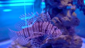 Lionfish no aquário Peixes bonitos que nadam na água transparente do aquário O tanque colorido do aquário encheu-se colorido vídeos de arquivo