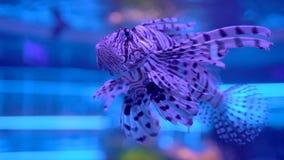 Lionfish no aquário Peixes bonitos que nadam na água transparente do aquário O tanque colorido do aquário encheu-se colorido video estoque