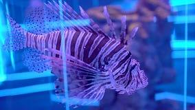 Lionfish no aquário Peixes bonitos que nadam na água transparente do aquário O tanque colorido do aquário encheu-se colorido filme