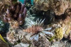 Lionfish no mar das caraíbas Foto de Stock