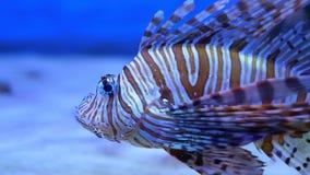 Lionfish no mar ou no aquário filme