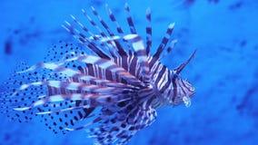Lionfish no mar ou no aquário vídeos de arquivo