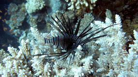 Lionfish noir Photo stock