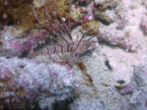 Lionfish novo Fotos de Stock Royalty Free