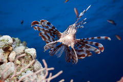 Lionfish and ocean royalty free stock photos