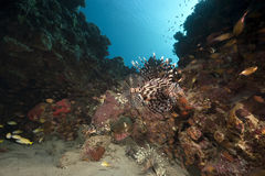 Lionfish and ocean Stock Image