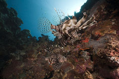 Lionfish and ocean Stock Images