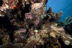 Lionfish and ocean Stock Photo