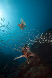 Lionfish and ocean Stock Photography